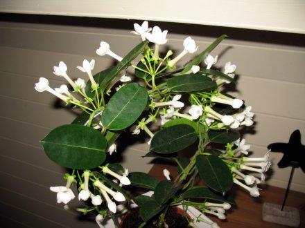Stephanotis floribunda wiki p niche flabelline for Petites plantes vertes